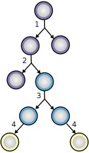 Диференціація клітин