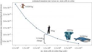 Частота мутацій (вісь У) по відношенню до кількості стовбурових клітин в товстій кишці (вісь Х) у різних тварин. Парадокс полягає в тому, що зв'язок обернено пропорційний. (За Aleah F. Caulin, Trevor A. Graham , Li-San Wang, Carlo C. Maley Solutions to Peto's paradox revealed by mathematical modelling and cross-species cancer gene analysis. DOI: 10.1098/rstb.2014.0222.)
