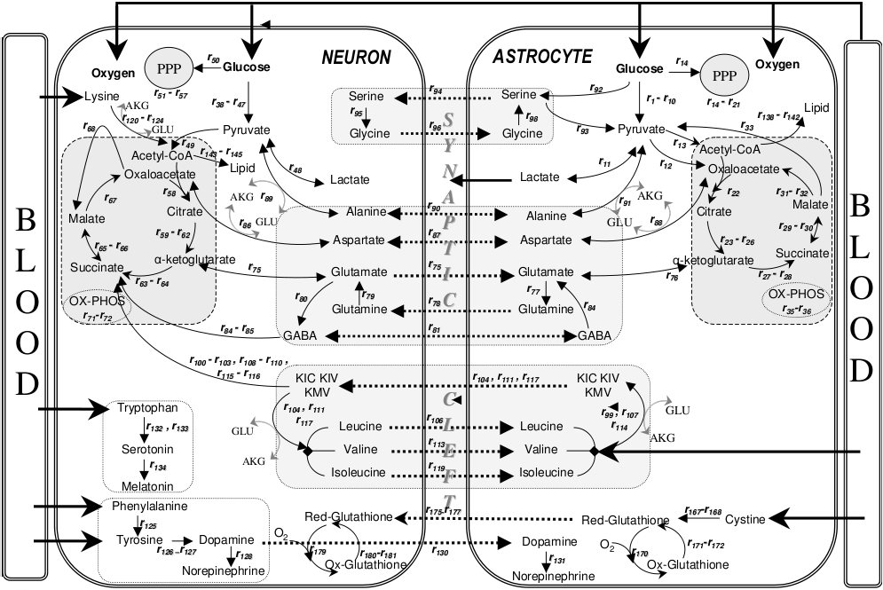 metabolic_interactions_between_astrocytes_and_neurons_with_major_reactions