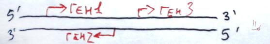 Гени в межах клітинної ДНК. Верхній ланцюг позначає кодуючи ділянку молекули, тобто ту, яка відповідає послідовності РНК