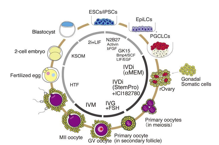 oocyte3